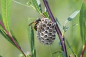 Konrad Wothe - Wasp constructing nest, Upper Bavaria, Germany