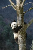 Konrad Wothe - Giant Panda climbing tree, Wolong Valley, China