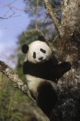 Konrad Wothe - Giant Panda in tree, Wolong Valley, Himalaya, China