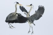 Konrad Wothe - Grey Heron pair fighting over a fish, Usedom, Germany