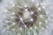 Konrad Wothe - Dandelion seed head showing achenes, Bavaria, Germany