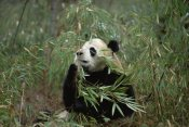 Konrad Wothe - Giant Panda eating bamboo, Wolong Valley, Himalaya, China
