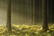 Konrad Wothe - Sunlight filtering through Spruce forest, Bavaria, Germany