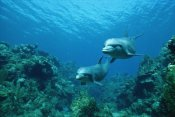 Konrad Wothe - Bottlenose Dolphin pair swimming over coral reef, Honduras