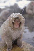 Konrad Wothe - Japanese Macaque in hot springs, Japanese Alps, Nagano, Japan
