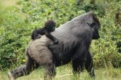 Konrad Wothe - Western Lowland Gorilla with baby on its back, central Africa