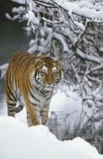 Konrad Wothe - Siberian Tiger walking in snow, Siberian Tiger Park, Harbin, China