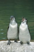 Konrad Wothe - Humboldt Penguin two chicks with one calling, range into Chile and Peru