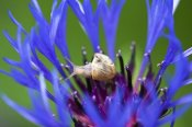 Konrad Wothe - White-lipped Grove Snail hortensis) on Knapweed flower, Bavaria, Germany