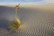 Konrad Wothe - Soaptree Yucca growing in gypsum sand, White Sands National Monument, New Mexico