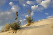 Konrad Wothe - Soaptree Yucca pair growing in gypsum sand, White Sands National Monument, New Mexico