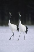Konrad Wothe - Red-crowned Crane pair calling during courtship dance at their wintering grounds, Hokkaido, Japan