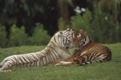Konrad Wothe - Bengal Tiger affectionate pair, one with normal coloration and the other a melanistic white morph, India