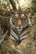 Shin Yoshino - Bengal Tiger portrait, Ranthambore National Park, India