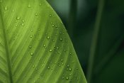Christian Ziegler - Leaf with water drops, Barro Colorado Island, Panama