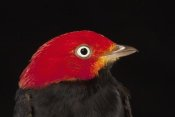 Christian Ziegler - Red-capped Manakin male, Barro Colorado Island, Panama