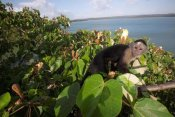 Christian Ziegler - White-faced Capuchin in canopy, Barro Colorado Island, Panama