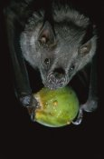 Christian Ziegler - White-throated Round-eared Bat eating a Fig, Barro Colorado Island, Panama