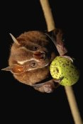 Christian Ziegler - Great Fruit-eating Bat feeding on fig, Smithsonian Tropical Research Station, Barro Colorado Island, Panama