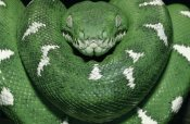 Pete Oxford - Special Color for Z-Gallerie: Emerald Tree Boa showing thermoreceptors between the labial scales, Amazon, Ecuador