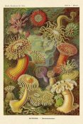 Ernst Haeckel - Haeckel Nature Illustrations: Actiniae