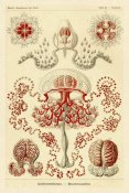 Ernst Haeckel - Haeckel Nature Illustrations: Anthomedusae