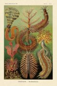 Ernst Haeckel - Haeckel Nature Illustrations: Worms