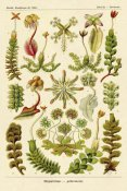 Ernst Haeckel - Haeckel Nature Illustrations: Corals