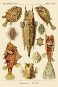 Ernst Haeckel - Haeckel Nature Illustrations: Boxfish
