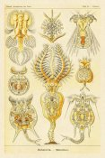 Ernst Haeckel - Haeckel Nature Illustrations: Rotatoria, rotifera worms