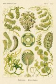 Ernst Haeckel - Haeckel Nature Illustrations: Siphoneae Hydrozoa