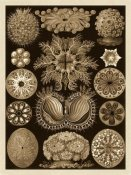 Ernst Haeckel - Haeckel Nature Illustrations: Ascidiae - Sepia Tint