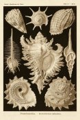 Ernst Haeckel - Haeckel Nature Illustrations: Gastropods - Sepia Tint