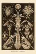 Ernst Haeckel - Haeckel Nature Illustrations: Thoracostraca, Crustaceans - Sepia Tint