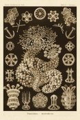 Ernst Haeckel - Haeckel Nature Illustrations: Sea Cucumbers - Sepia Tint