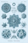 Ernst Haeckel - Haeckel Nature Illustrations: Polycytaria Radiolaria - Blue-Green Tint
