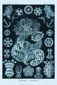 Ernst Haeckel - Haeckel Nature Illustrations: Sea Cucumbers - Blue-Green Tint