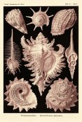 Ernst Haeckel - Haeckel Nature Illustrations: Gastropods - Rose Tint