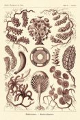 Ernst Haeckel - Haeckel Nature Illustrations: Siphoneae Hydrozoa - Rose Tint