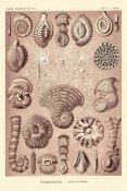 Ernst Haeckel - Haeckel Nature Illustrations: Talamophora, Formanifera, Rhisopods - Rose Tint