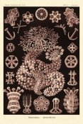 Ernst Haeckel - Haeckel Nature Illustrations: Sea Cucumbers- Rose Tint