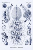 Ernst Haeckel - Haeckel Nature Illustrations: Siphoneae Hydrozoa - Dark Blue Tint