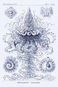 Ernst Haeckel - Haeckel Nature Illustrations: Tubularida - Tubularians - Dark Blue Tint