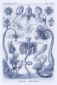 Ernst Haeckel - Haeckel Nature Illustrations: Cephlopods - Dark Blue Tint