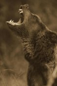 Tim Fitzharris - Grizzly Bear calling, North America - Sepia