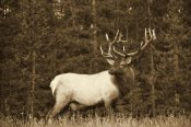 Tim Fitzharris - Elk or Wapiti male portrait, North America - Sepia