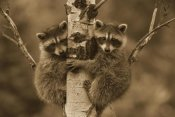 Tim Fitzharris - Raccoon two babies climbing tree, North America - Sepia