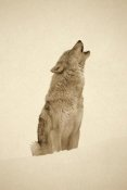 Tim Fitzharris - Timber Wolf portrait, howling in snow, North America - Sepia