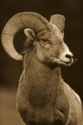 Tim Fitzharris - Bighorn Sheep male portrait, Banff National Park, Alberta, Canada - Sepia
