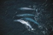 Flip Nicklin - Blue Whale pod surfacing, endangered, Santa Barbara Channel, California